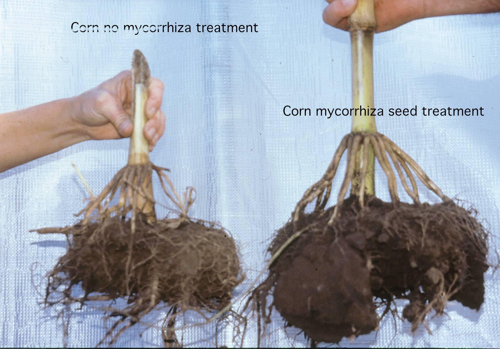 corn mycorrhizae